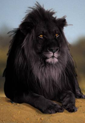 shukernature black lions manipulation melanism and. Black Bedroom Furniture Sets. Home Design Ideas
