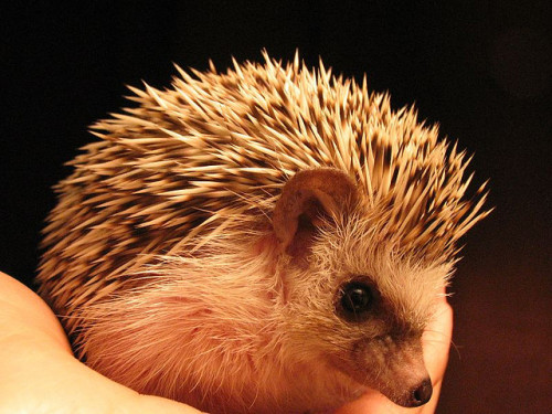 animals-animals-animals:  African Pygmy Hedgehog (by Leigh (Rhymes with Twee))