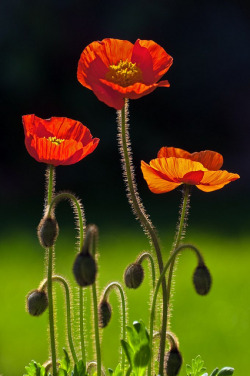 Three Poppies by peter murray in derbyshire on Flickr.