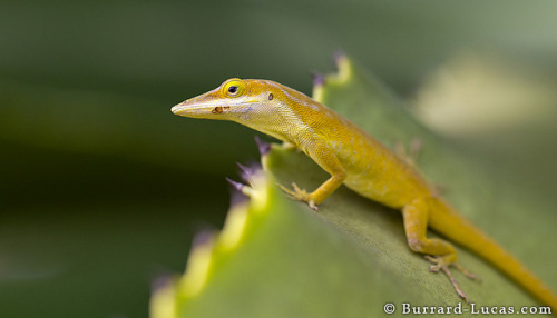 Green Anole on Flickr.This is a male green anole. This species is found only on the tiny island of Little Cayman. These lizards have unusually long, pincer-like snouts, the purpose of which still is unknown. © Burrard-Lucas Photography - Blog | Facebook | Twitter | Google+
