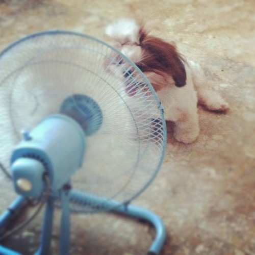 Céline knows how to cool off! Too cute!! #dogoftheday #dogs #puppies #pets #cute #funny #family #happiness #igers  (Taken with instagram)