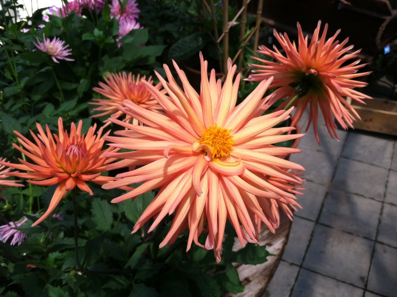 A Dahlia, of which there are many variations. All are members of the Dahlia genus. Photo by me.