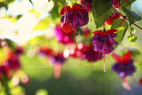 fuschia folds. (by kvdl)