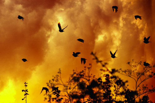 animalgazing:  Birds by Theophilos on Flickr. Flight from a forest fire