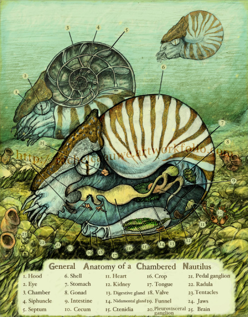 rcaauwe:  Nautilus Anatomy by Rachel Caauwe, 2010 Prints available on Etsy! $20 ea