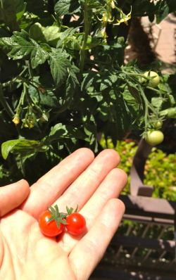 First Grape Tomatoes of the season Yay!