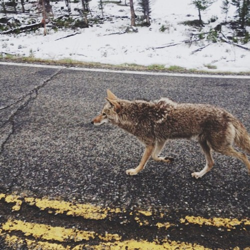 kevinruss:  Coyote crossing (Taken with Instagram at Yellowstone National Park)