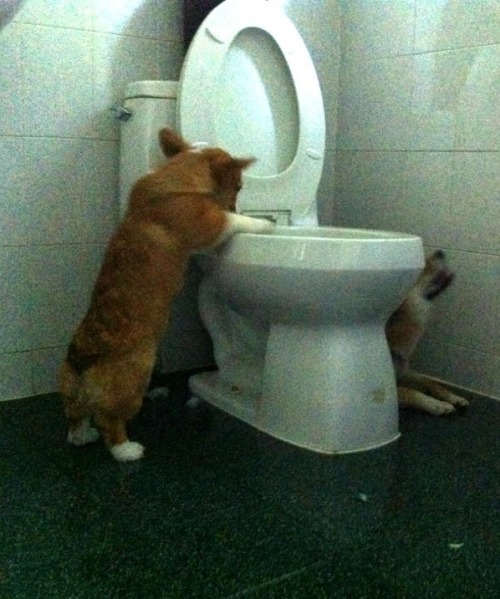 corgi had a rough night, corgi meet toilet, toilet meet corgi.