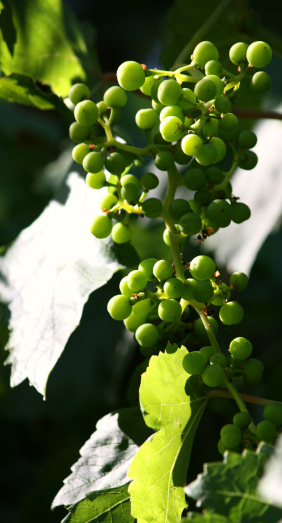 grapes (almost ripe)