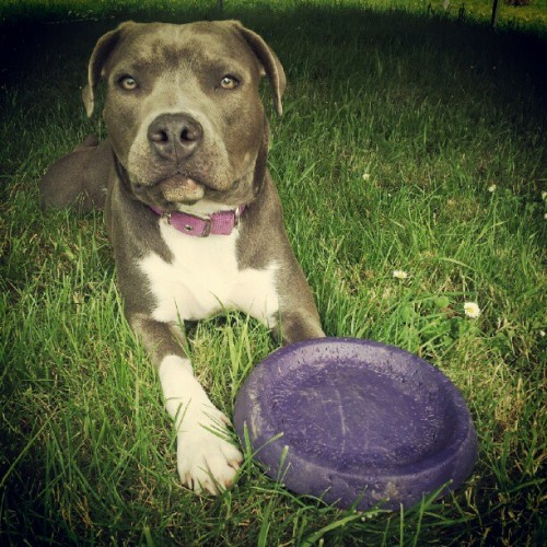 my playful girl, yes im obsessed with my dog ;] #pitbullpuppy #pitbulllove #dogsofinstagram #bluenose #bluenosepit #pitbulls #myinstapit #instagroove #instamood #instagood #instago #cute #beauty #puppy #pitbull #cuteness #adorable #big #ears #beautiful #dogs  (Taken with instagram)