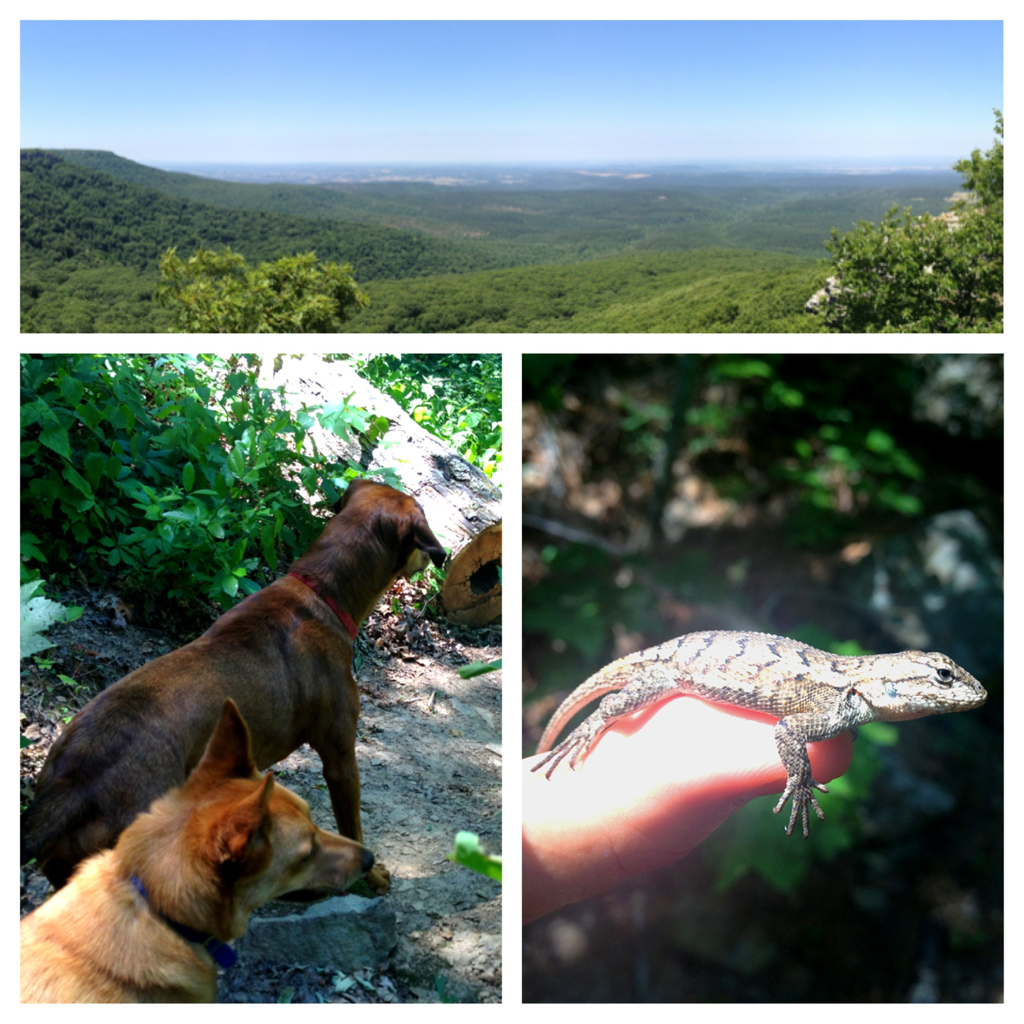 Hiked Mount Magazine today - highest point in Arkansas.  Not one soul in sight during our 4 hour hike. And the dogs loved it because they were off the leash the entire time.   Total hike: 8.75 miles. Half of which was uphill!