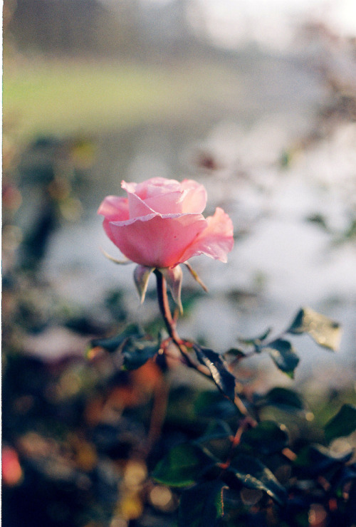meowrica:  Rose Saturday (by Khánh Hmoong)
