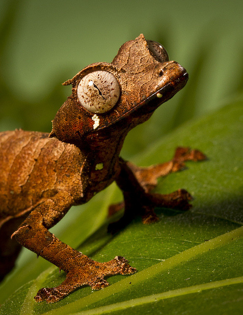 rhamphotheca:  sun-stones: Satanic Leaf-tailed Gecko (Uroplatus phantasticus), from Madagascar (photo by Official San Diego Zoo on Flickr)