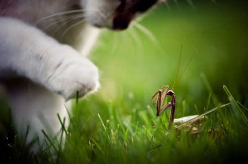 Cat vs. Mantis Just a phenomenal capture by Michigan photographer Brooke Pennington. I love how brave the little mantis looks in the face of the pending kitty smack down. There's a lesson to be learned here, surely. http://500px.com/photo/1193119