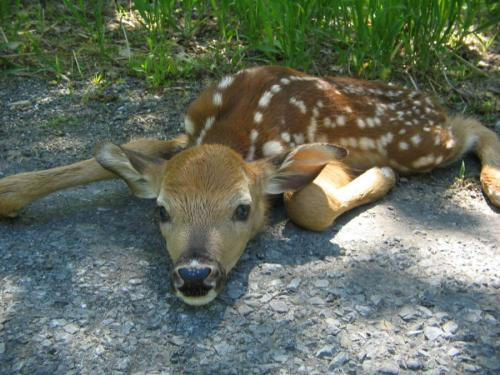 wild baby deer playing dead By:texmgm