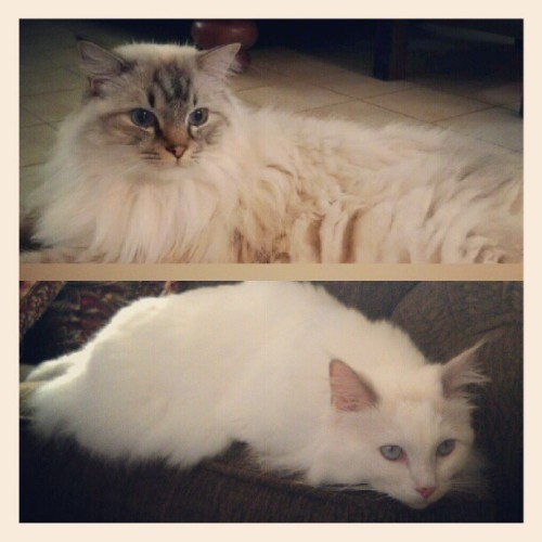 #reasonswhyicomehome #ragdoll #ragdollcat #catsofinstagram #cat #instagood #adorable #ragdollsofinstagram #kitty  (Taken with instagram)