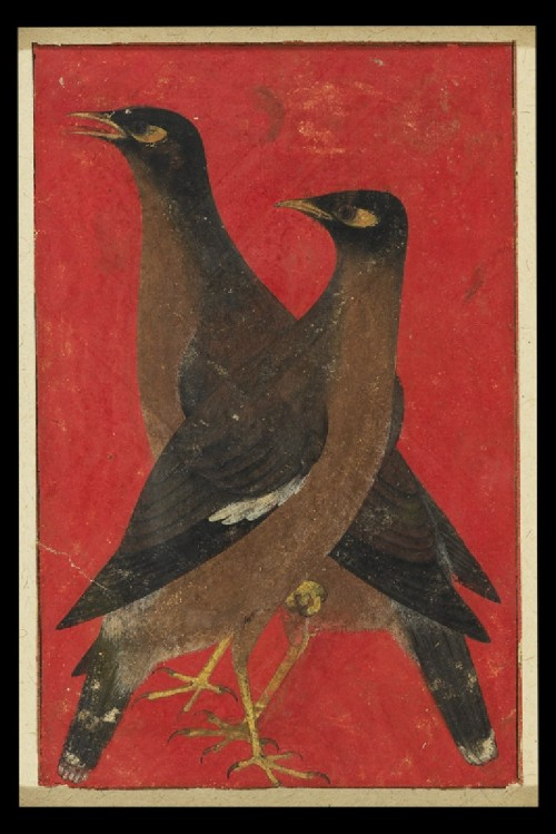 eyeburfi2:  Two myna birds, Mughal, North India, c. 1620.
