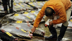 mothernaturenetwork:  Tuna may have brought Japan radiation to U.S., study saysScientists found 'modestly elevated levels' of 2 radioactive isotopes in 15 bluefin tuna caught off the coast of San Diego, Calif., in August.