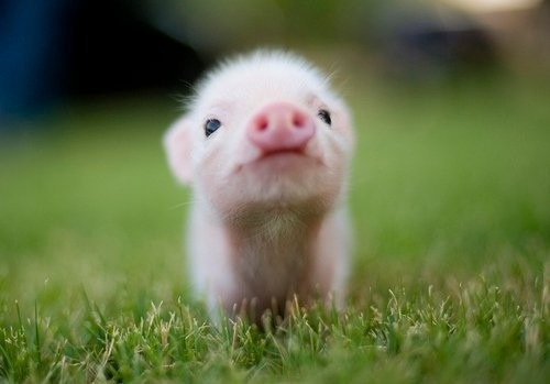 anthropologie:  Le petit cochon! Via: We Heart It