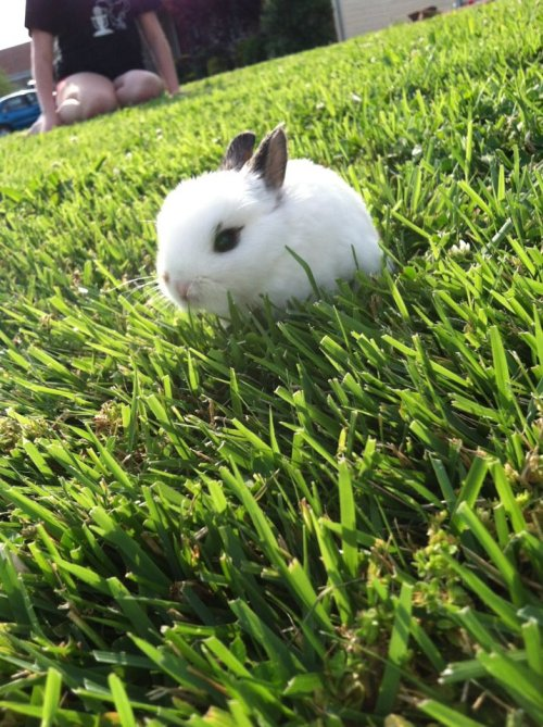 dailybunny:  Tiny Bunny Explores the Yard Thanks, falsepercepti0n!