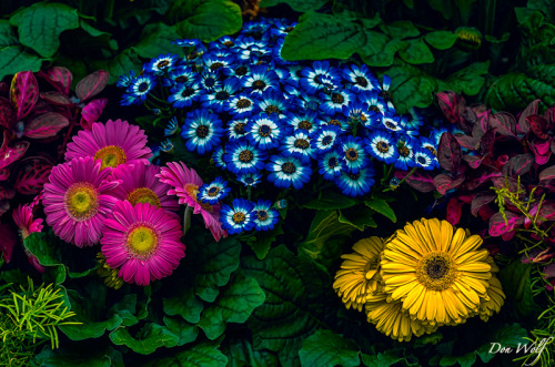 Daisies and Cineraria by Don Wolf