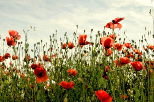 poppies tell me it is still spring (by ana.gr)
