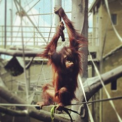 #orangutan at #chesterzoo  (Taken with instagram)
