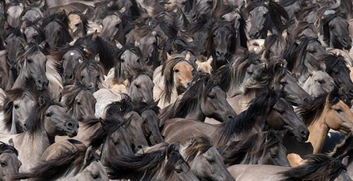 theanimalblog:  Dülmen, Germany: wild horses are driven into an arena to pick out young stallions. It is believed that this is the last herd of wild horses on the European continent, in this 350 hectare reservation.  Photograph: Martin Meissner/AP