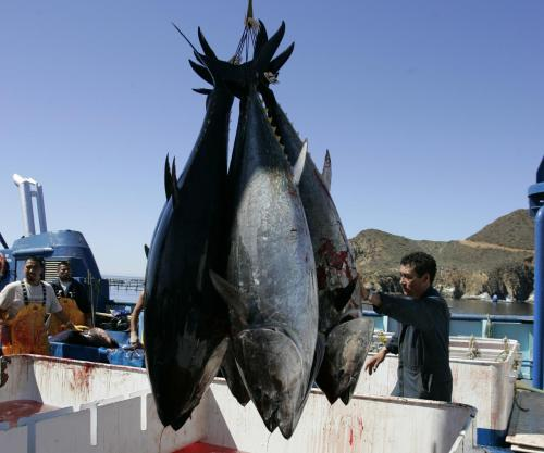 Radiation from Japan's Fukushima nuclear plant found in US tuna AP: New research has found increased levels of radiation in Pacific bluefin tuna caught off the coast of Southern California. Scientists say the radiation in the fish came from Japan's Fukushima nuclear plant that was heavily damaged by the 2011 earthquake and tsunami. Photo:Workers are seen harvesting bluefin tuna near Ensenada, Mexico, on March 5, 2007. (AP Photo/Chris Park, File)