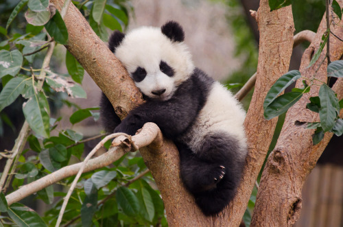 Baby panda in tree (by taniwha88)