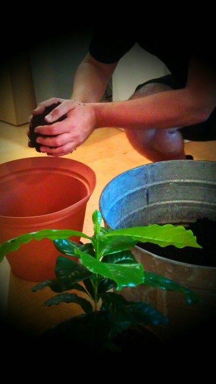 cccwdc:  Re-potting coffee plants at DCTC!