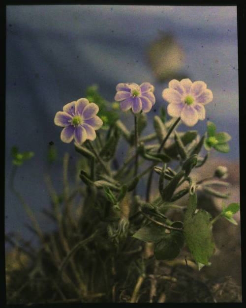 Plant with Blue-Violet Flowers, ca. 1915 (via)