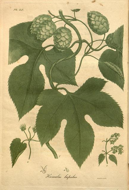 dendroica:  Common Hop (Humulus lupulus) by BioDivLibrary on Flickr. American medical botany :. Boston:Cummings and Hilliard,1817-1820..biodiversitylibrary.org/page/3552954