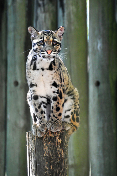 earth-song:  clouded leopard (Neofelis nebulosa nebulosa) by *Norbi2010