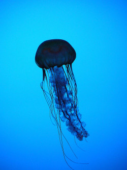 throughtheawakeningsea:  Jellyfish  CodyHanson