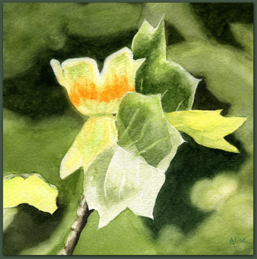 Tulip Tree     (watercolor)