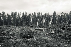 ©Harriet Stevens 2011 Forestry area in Tasmania (near Liffey Falls). This was for a split tone assignment, so it's not true black and white.