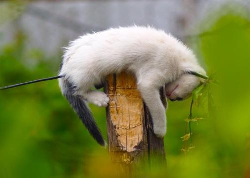 "magicalnaturetour:  ""Polecat"" having a nap by icehammer ~ Sweet Dreams beautiful friends ♥"
