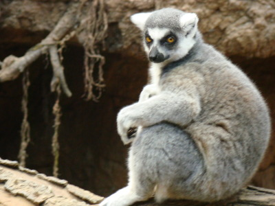 Zoboomafoo really let himself go
