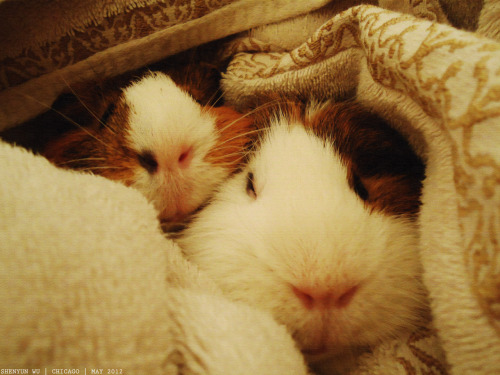 Shish and Kabob wrapped in a towel before their baths. #guineapigs #pets #photography Chicago, IL.May 2012.