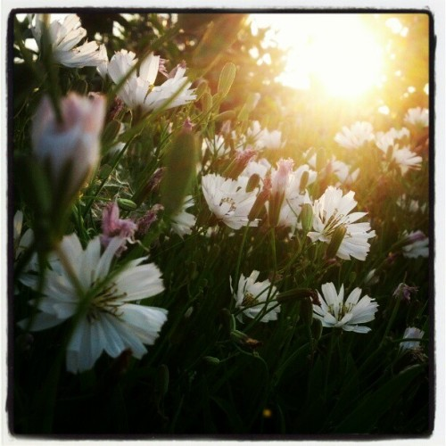 #flower#sunset#warm#light#backlight (使用instagram拍摄)