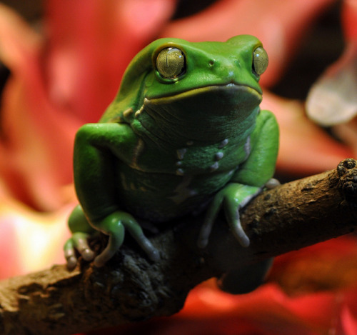 Another green frog by Ray_from_LA on Flickr.