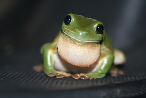 animalgazing:  Green Tree Frog Litoria caerulea by Stephen Barnett on Flickr.