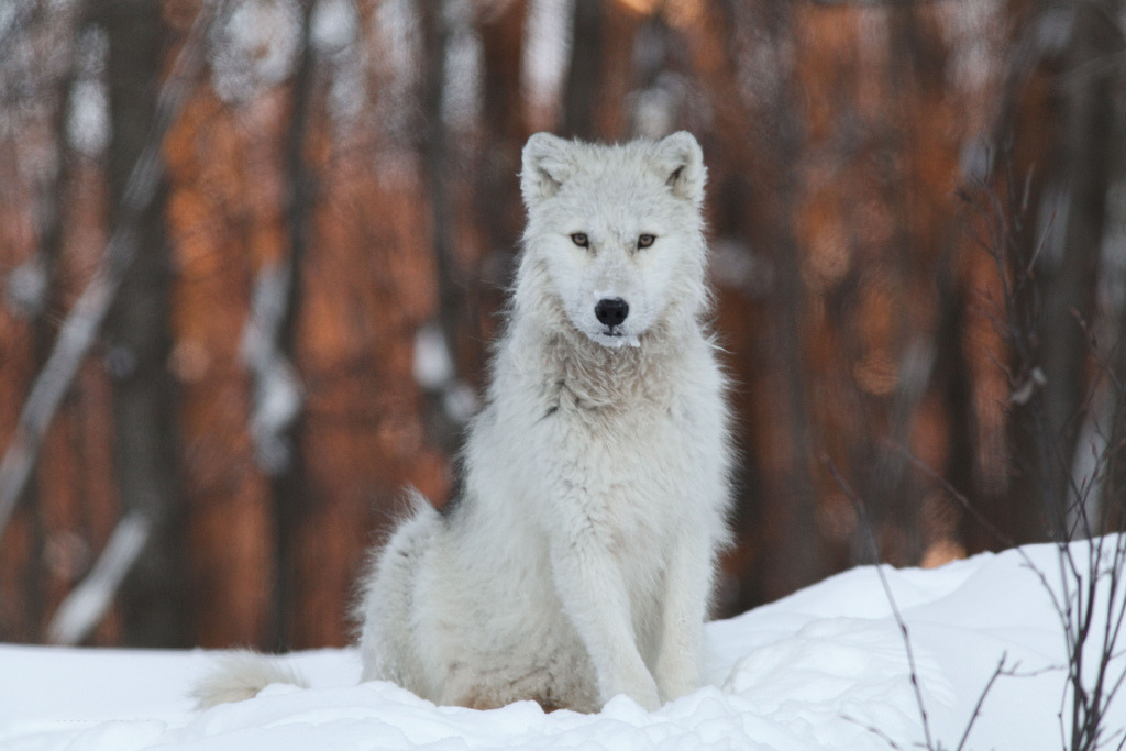ARTIC WOLF - LOUP ARCTIQUE By Serge K