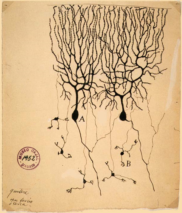 Drawing of Purkinje cells (A) and granule cells (B) from pigeon cerebellum by Santiago Ramón y Cajal, 1899. Instituto Santiago Ramón y Cajal, Madrid, Spain. wikipedia