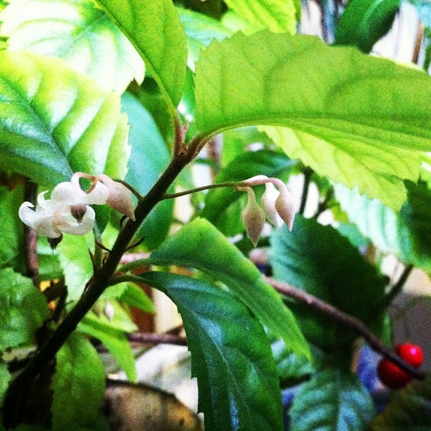#viburnum awabuki 산호수 (Taken with instagram)