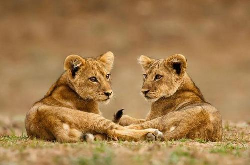 funnywildlife:  Cute Cubs!!