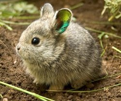 The Columbia Basin Pygmy Rabbits are native to the Pacific Northwest and face an uphill battle since beingdeclared extinct in the wild in the 1990s.