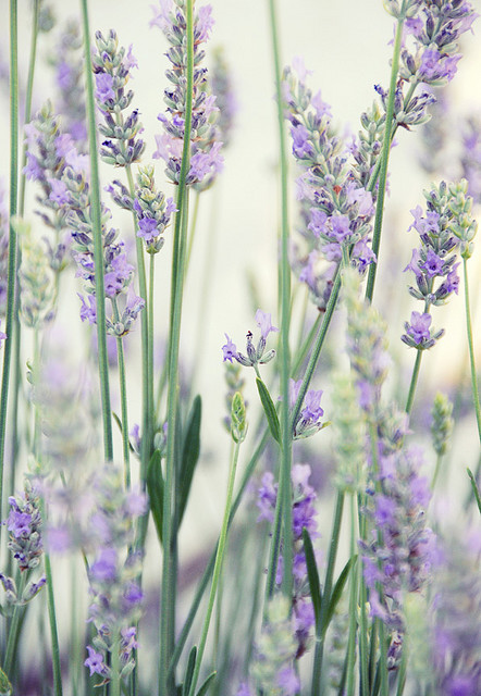 source: lavender by Creature Comforts on Flickr. ~ I just planted some lavender this week and cannot wait for it to bloom!