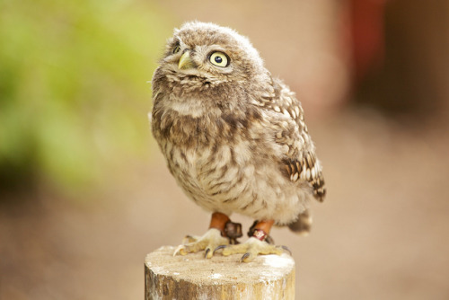 Little Owl by mjw… on Flickr.